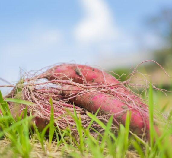 芋掘り体験を始めました!│農の農園